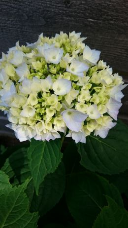 Finally My Hortensia in full bloom!(25.06-2016